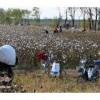 电动采棉机棉花收割机原理棉花收割机视频棉花收割机多少钱