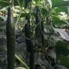 五台育黄瓜苗基地 代县越冬油亮黄瓜苗品种